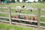pigs-at-fence.jpg