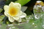 water-lily.jpg
