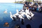Feeding the pelicans at The Entrance July 16 2005.jpg